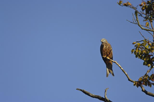 Red Kite (Milvus milvus) photo