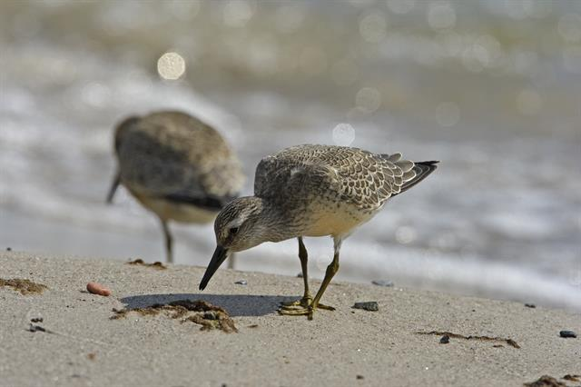 Red Knot (Calidris canutus) photo