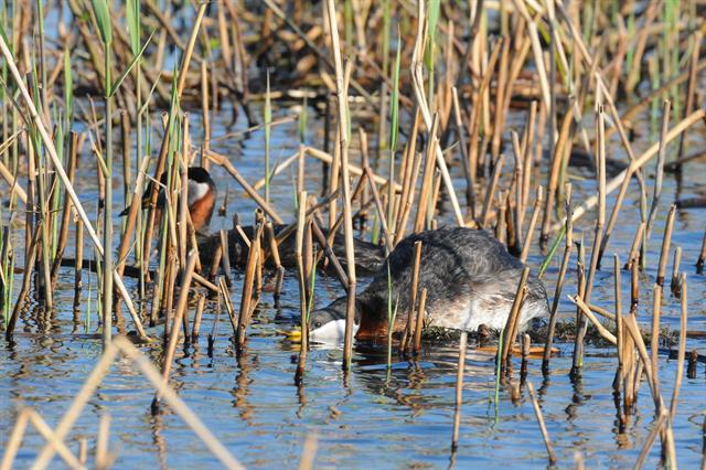 Red-necked Grebe (Podiceps grisegena) photo