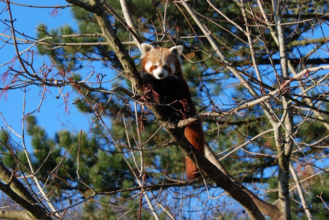 Red Panda (Ailurus fulgens) photo