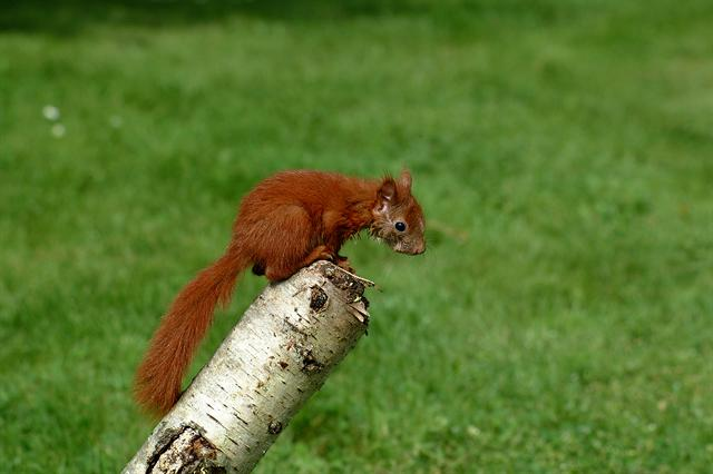Red Squirrel (Sciurus vulgaris) photo