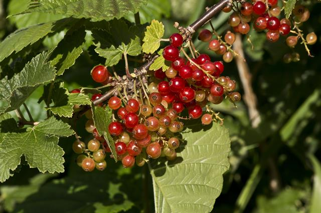 Redcurrant (Ribes rubrum) photo