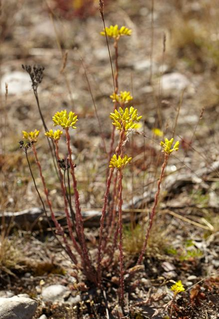 Reflexed Stonecrop (Sedum rupestre) photo