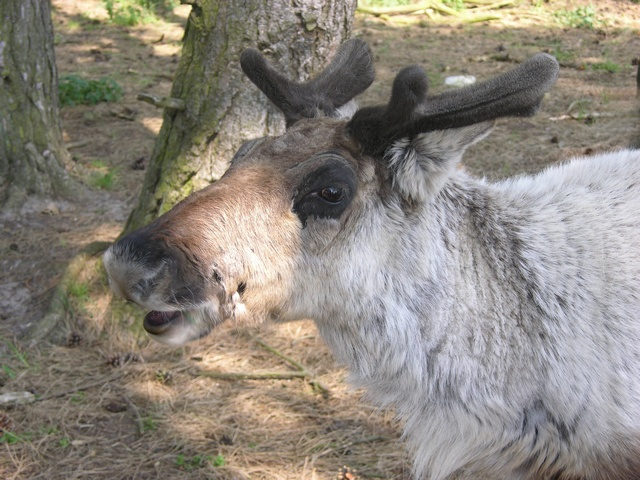 Reindeer (Rangifer tarandus) photo