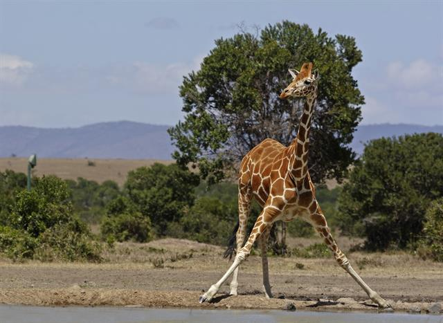 Reticulated giraffe (Giraffa camelopardalis reticulata) photo