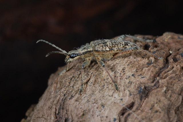 Ribbed Pine Borer (Rhagium inquisitor)