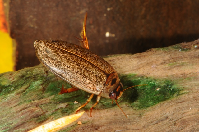 Rhantus suturalis photo
