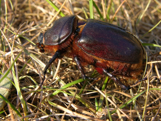 Rhinoceros Beetle (Oryctes nasicornis) photo