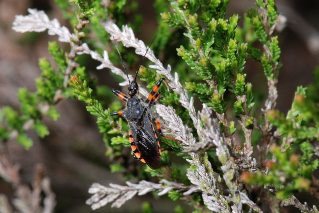 Rhynocoris annulatus photo