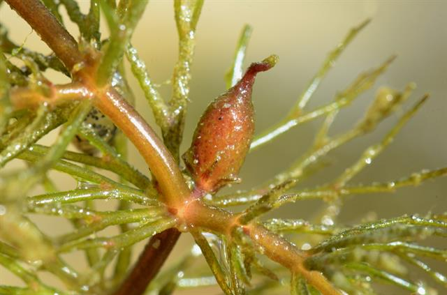 Rigid Hornwort (Ceratophyllum demersum) photo