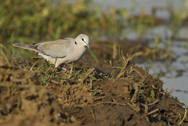 Ring-necked Dove (Streptopelia capicola) photo