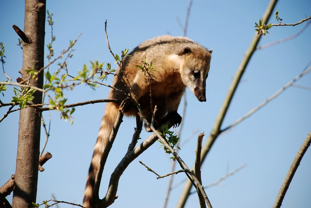 Ring-tailed coati (Nasua nasua) photo