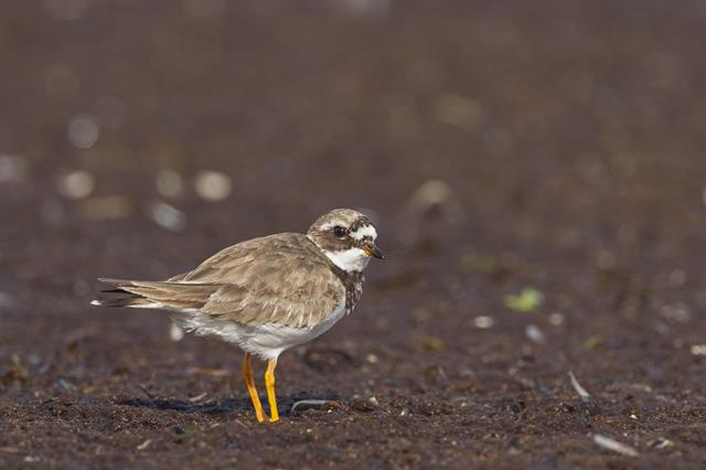 Ringed Plover (Charadrius hiaticula) photo