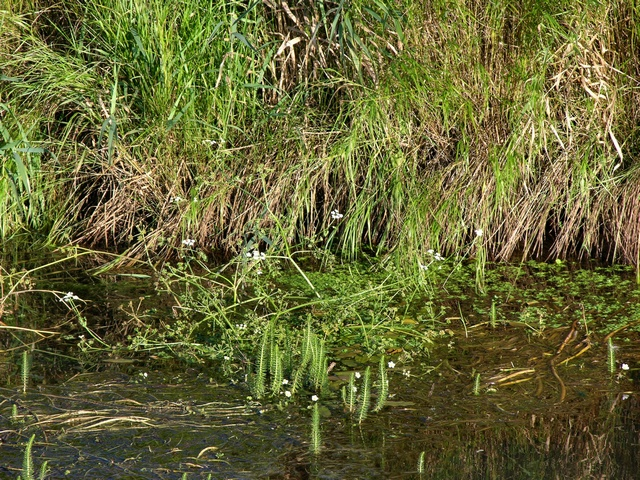 River Water-Dropwort (Oenanthe fluviatilis) photo