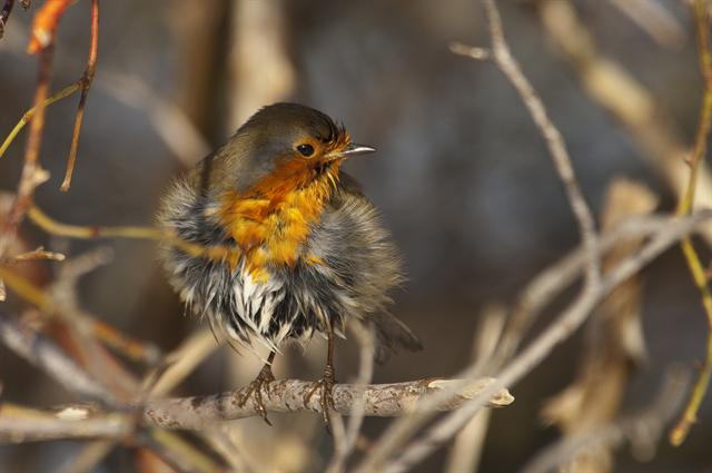 robin (Erithacus rubecula) photo