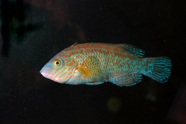 Rock cook, Small-mouthed wrasse (Centrolabrus exoletus) photo