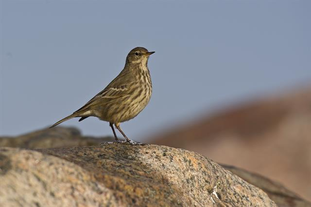 Rock Pipit (Anthus petrosus) photo