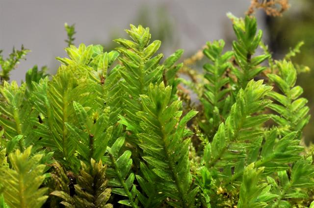 Rock Pocket Moss (Fissidens dubius) photo