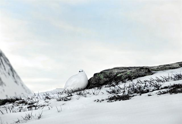 Rock Ptarmigan (Lagopus muta) photo