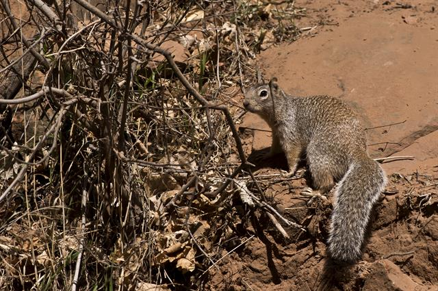Rock Squirrel (Otospermophilus variegatus) photo