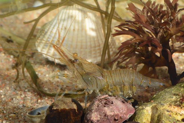 Rockpool prawn (Palaemon elegans) photo