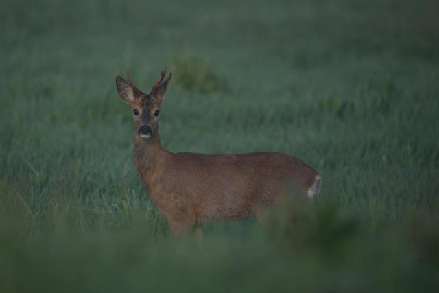 Roe Deer (Capreolus capreolus) photo