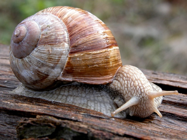 Roman Snail (Helix pomatia) photo