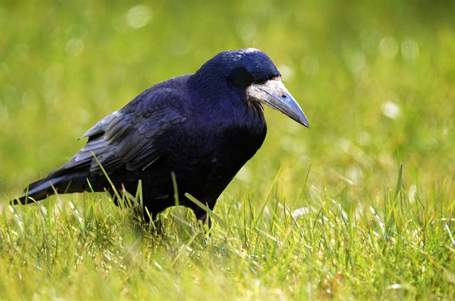 Rook (Corvus frugilegus) photo
