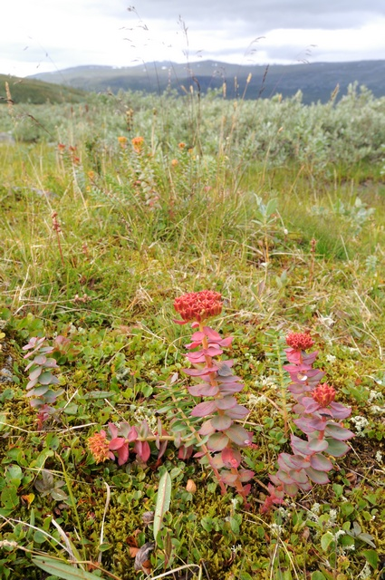 Roseroot (Rhodiola rosea) photo