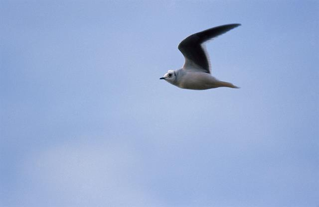 Ross´s Gull (Rhodostethia rosea) photo