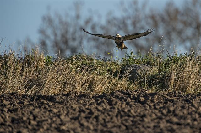 Rough-legged Buzzard (Buteo lagopus) photo