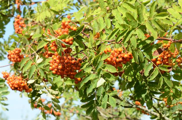 Rowan (Sorbus aucuparia) photo