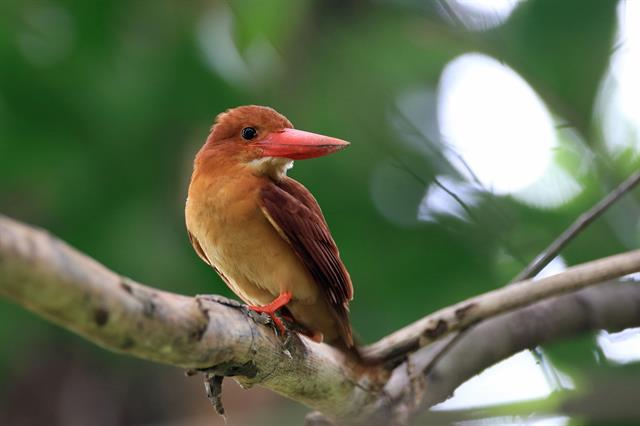 Ruddy Kingfisher (Halcyon Coromanda) photo