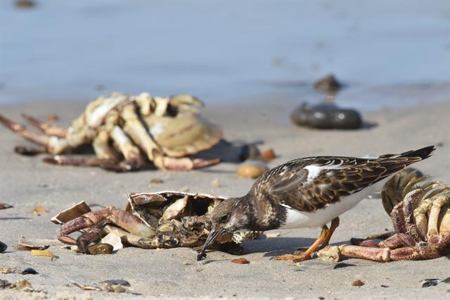 Ruddy Turnstone (Arenaria interpres) photo