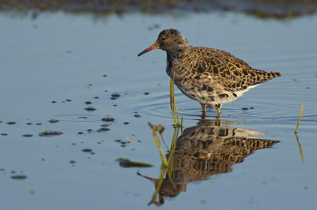 Ruff (Philomachus pugnax) photo
