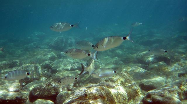 Saddled seabream (Oblada melanura) photo