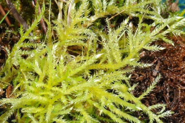 Sand Feather-moss (Brachythecium mildeanum) photo