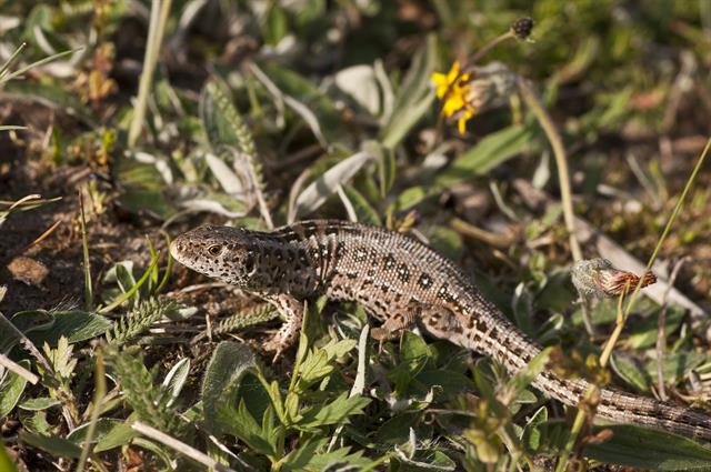 Sand Lizard (Lacerta agilis) photo