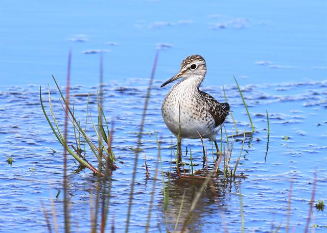 Sandpiper (Tringa glareola) photo
