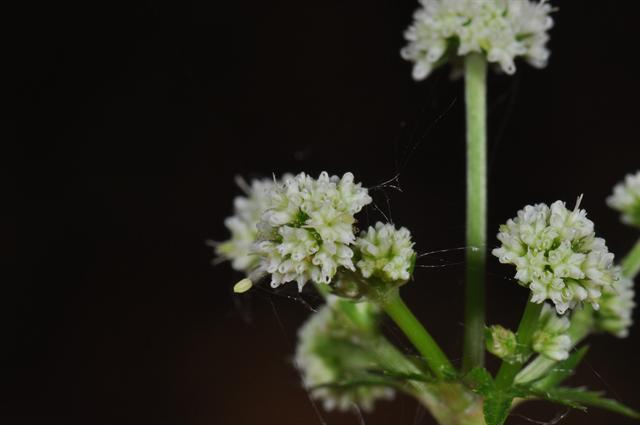 Sanicle (Sanicula europaea) photo