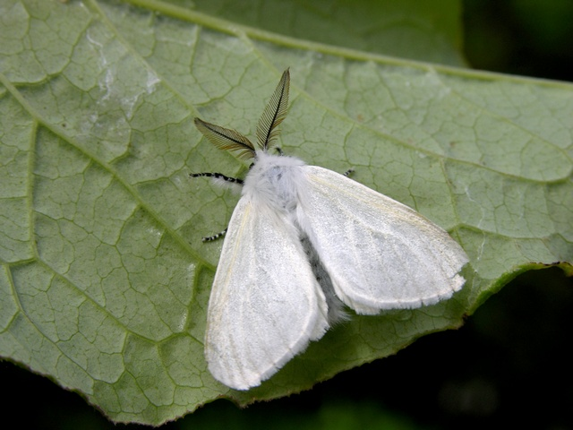 Satin Moth (Leucoma salicis) photo