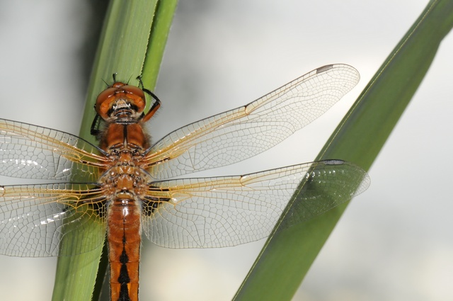Scarce Chaser (Libellula fulva) photo