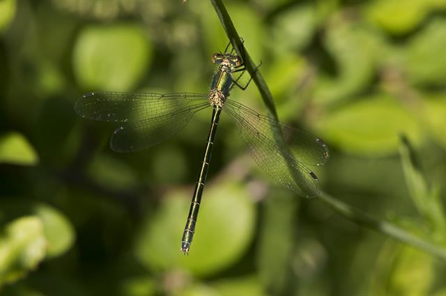 Scarce Emerald Damselfly (Lestes dryas) photo