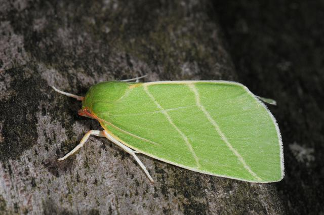 Scarce Silver Lines (Bena bicolorana) photo