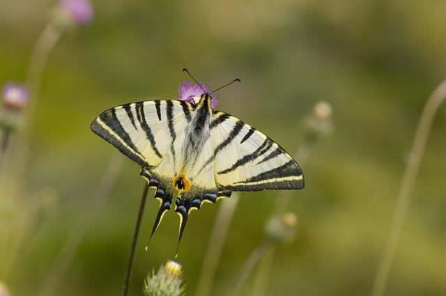Scarce Swallowtail (Iphiclides podalirius) photo