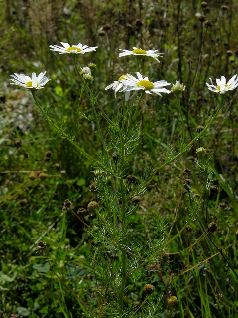 Scentless Mayweed (Tripleurospermum inodorum) photo