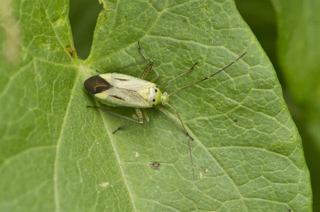 Adelphocoris quadripunctatus photo