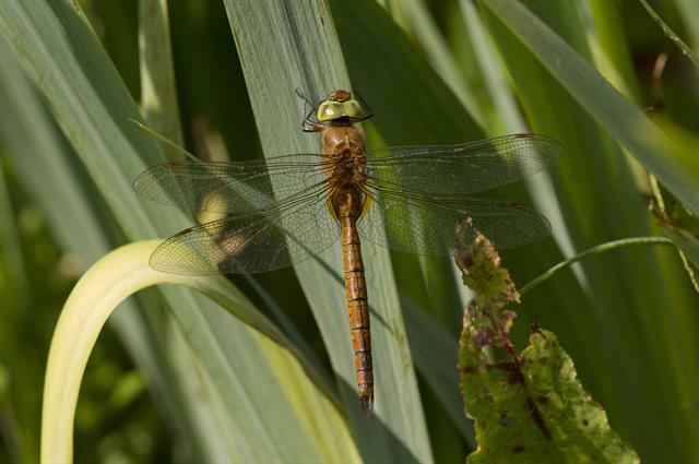 Norfolk Hawker, Green-eyed Hawker (Aeshna isoceles)