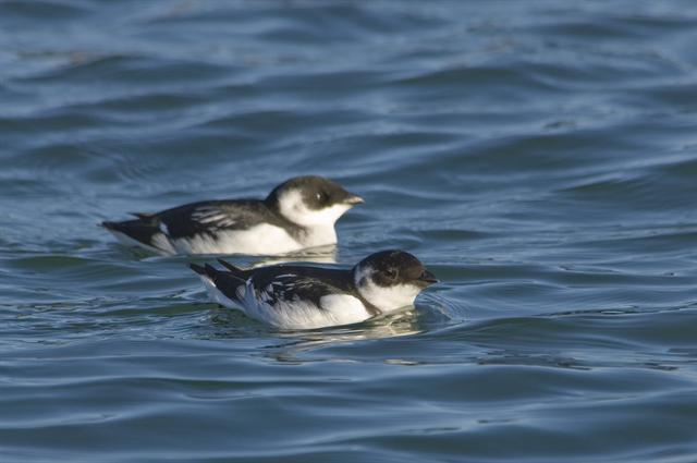 Little Auk (Alle alle)