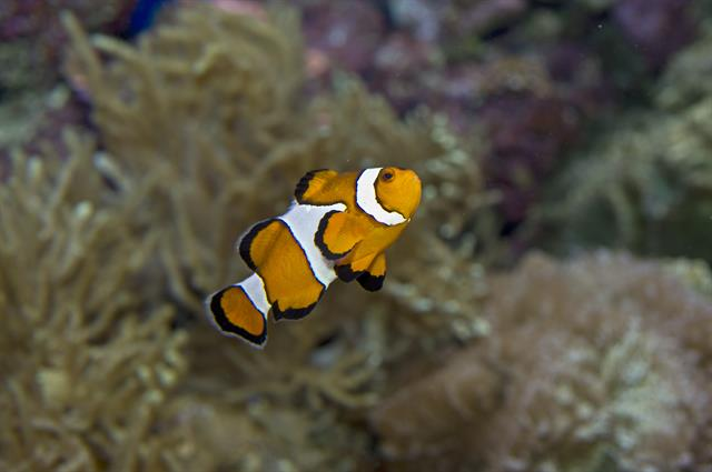 Western Clownfish, False Clown Anemonefish (Amphiprion ocellaris)